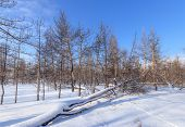 Burnt Trees In Fire / Nature Forests Of Ukraine Winter Landscape poster