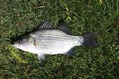 Closeup Of A White Bass Or Sand Bass Laying On A Green Lawn In The Sunshine poster