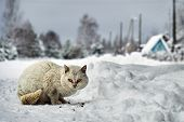 Homeless White Cat Sitting On The Snow And Eating Pieces Of Dry Cat Food In Russian Village Outdoors poster