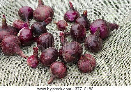 Red Onion Healthy Vegetable Harvesting