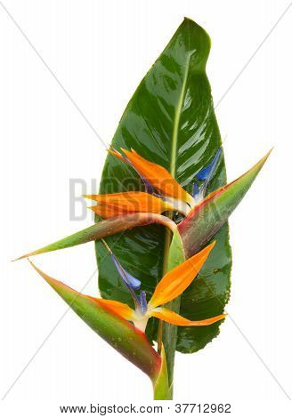 bouquet o strelitzia flowers