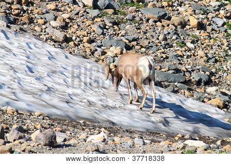 Bighorn Sheep (Ovis canadensis) Montana
