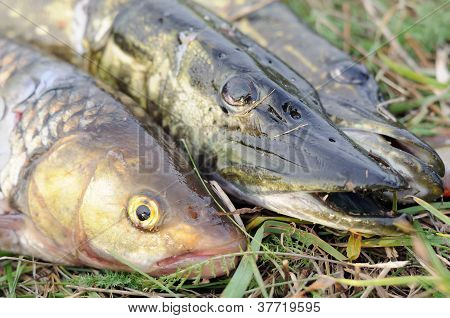 Fisherman's Catch - Pikes And Chub Fish On The Grass
