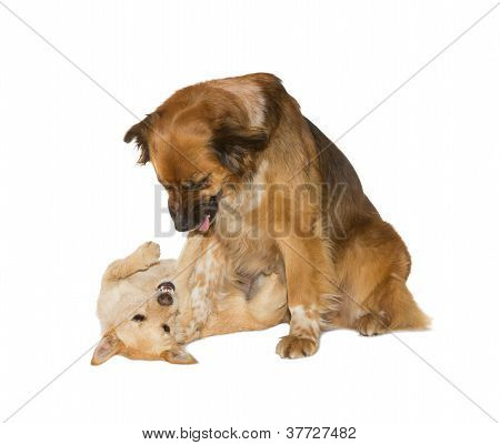 Two Family Dogs Playing
