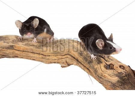 Two Cute Little Mice On A Log