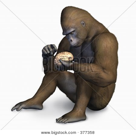 Gorilla Inspecting Human Brain