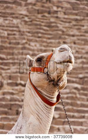 Giza Camel