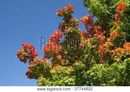 Discoloring Tree In Fall