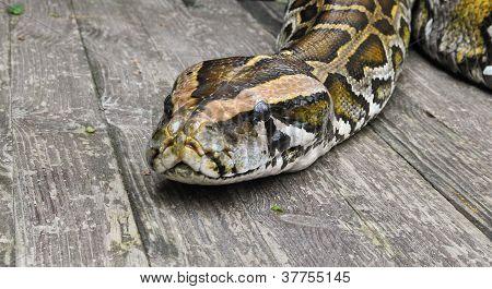 Boa Constrictor I