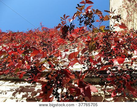 Quinata girlish grapes or grape Virginia (Parthenocissus quinquefolia) fall