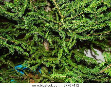 pine tree background