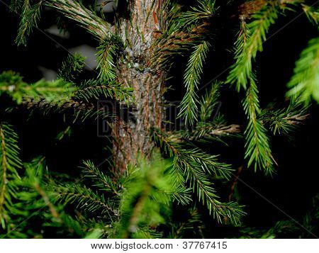pine tree background *close up