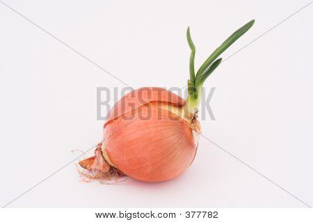 Germinated Onion