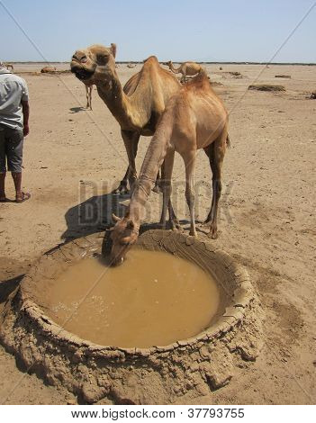 Camels drink from a well in the Danakil desert of Ethiopia