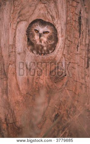 Bird-Saw Whet Owl