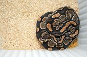 stock photo of pythons  - Python regius snake commonly known as royal python snake or ball python - JPG