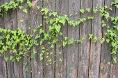 stock photo of kudzu  - Ivy spreads and grows across an old weathered wooden fence - JPG