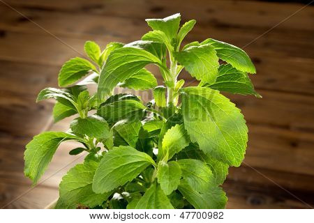 Green stevia natural sweetener plant growing in a pot