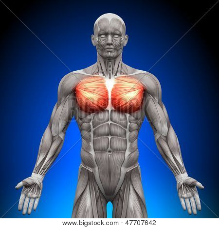 Peito / Pectoralis Major / Minor Pectoralis - anatomia músculos