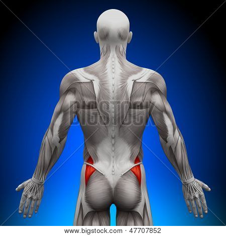 Glutes Medius - Anatomy Muscles