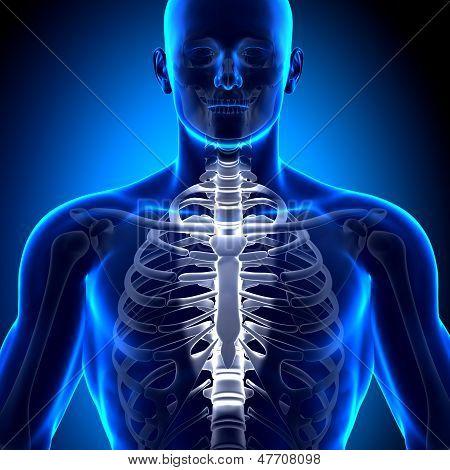 Sternum - Anatomy Bones