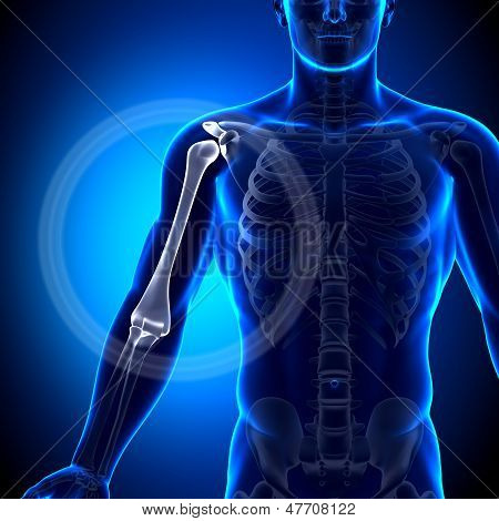 Húmero / anatomía - huesos de la anatomía del brazo