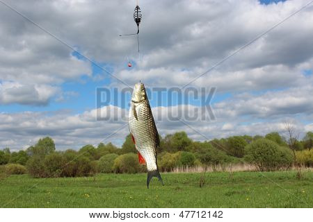 Beautiful Caught Chub On The Hook