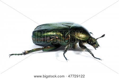 Metallic green beetle Rose chafer Cetonia aurata
