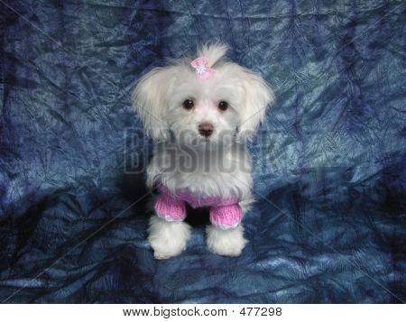 Maltese Pretty In Pink