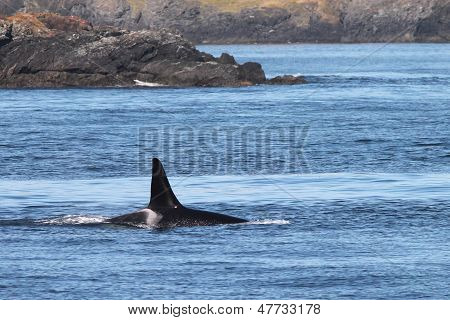 Orca Whale on the Washington Coast