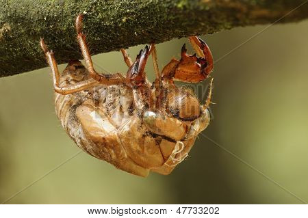 Cicada Exoskeleton Clinging to a Tree Branch