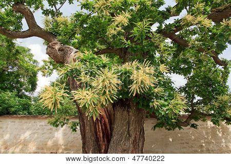 Hundred-year-old sweet chestnut tree in flowers, garden in France, Europe