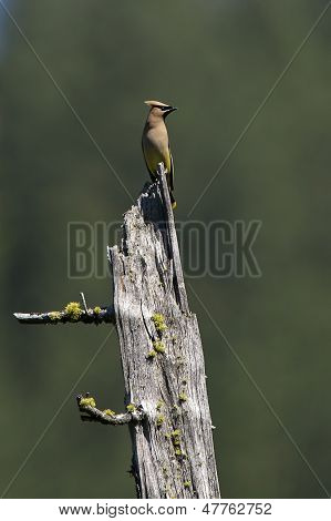 Waxwing Perched On Stump.
