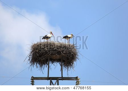 Two White Storks In The Nest