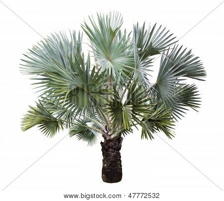 Bismarck Palm Tree Isolated