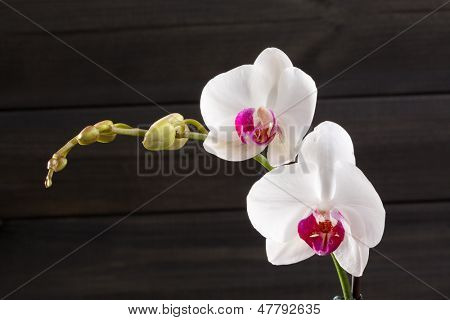 Closeup white orchid Phalaenopsis cultivars hybrid flower macro on black