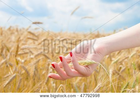 Woman's Hand Holding Wheat