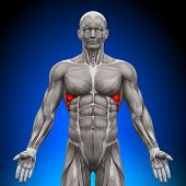 Serratus Anterior - Anatomy Muscles
