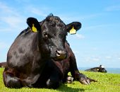 picture of cattle breeding  - Black Aberdeen Angus cow at pasture in England - JPG