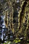 stock photo of epiphyte  - Epiphytic mosses in rain forest in Alaska - JPG