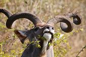 foto of veld  - Kudu bull eating in the Kruger National Park, South Africa