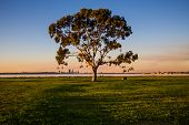 stock photo of eucalyptus trees  - Lonely eucalyptus tree in a park - JPG