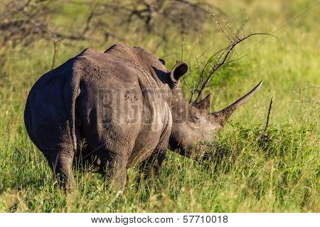 Wildlife rhinocerous