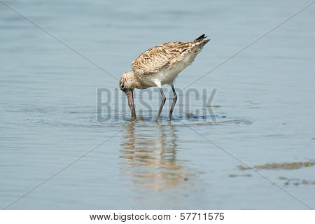 Bar-tailed Godwit Just Before He Submerges His Head