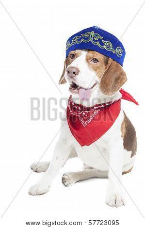 Beagle In Skullcap