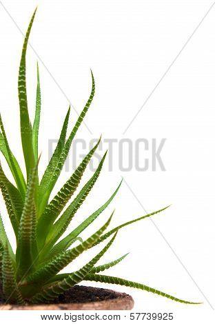 Leaves Haworthia Isolated On White