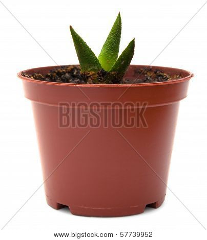 Small Haworthia In Flowerpot Isolated On White