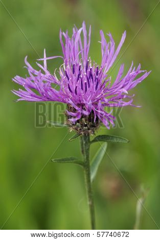 Common or Black Knapweed