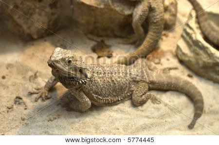 Aagamid  Lizard Crawling On Sand
