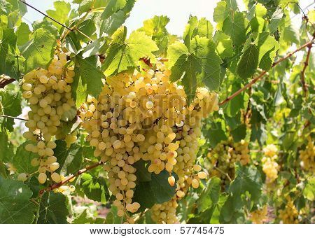 Bunch Of Muscat Grapes Sunlit